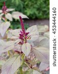 Small photo of Foxtail amaranth (Amaranthus caudatus), close-up in a garden