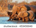 Small photo of African elephants (Loxodonta africana) drinking water, Etosha National Park, Namibia