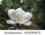 Flower Of The Magnolia...