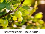 Fresh Green Gooseberries On A...