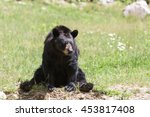 A Large Black Bear In The Summer