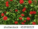 Bush With Flowers Red Roses