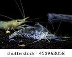 Small photo of Giant freshwater prawn ( Macrobrachium rosenbergii ) Young shrimp molt. Animalia Kingdom , Arthropoda Phylum , Malacostraca Class