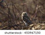 little owl in forest. dry tree... | Shutterstock . vector #453967150