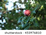 a lone ripe plum on a tree | Shutterstock . vector #453976810