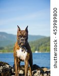 Brindle Boxer Dog Standing On...