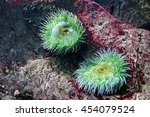 Small photo of Underwater photograph of happy twin colorful actinias waving with their tentacles in the Lisbon Oceanarium, Portugal. Actinia equina. Sea anemone.