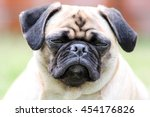 adorable grumpy looking pug dog | Shutterstock . vector #454176826