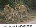 Lioness And Two Young Lioness