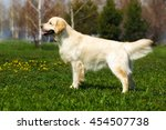 beautiful purebred dog golden... | Shutterstock . vector #454507738