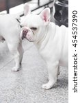 Small photo of absent-minded French bulldog or French bulldog on the floor