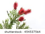 Australian Native Bottlebrush ...