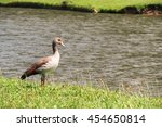 young egyptian goose 1 | Shutterstock . vector #454650814