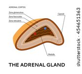 the adrenal gland  medical... | Shutterstock .eps vector #454651363