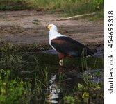 Small photo of African fish eagle at river, Botswana