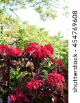Small photo of Amaranthus tricolor plants in a phase of bright red color.