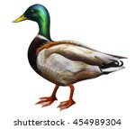 Duck Drawing  Anas...