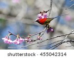 Small photo of Gould's Sunbird (Aethopyga gouldiae), he stands on the flower, Thailand.