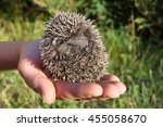 Hedgehog Baby Curled Up On A...