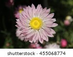 "Small photo of ""Paper Daisy"" flower in St. Gallen, Switzerland. Its Latin name is Helipterum Roseum (Syn Acroclinium Roseum), native to Australia."