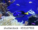 a blue tang fish at the aquarium | Shutterstock . vector #455107903
