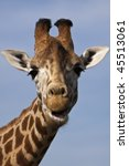 Funny Giraffe Portrait With...