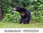 Malayan Sun Bear  Honey Bear ...
