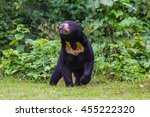 Malayan Sun Bear  Honey Bear ...