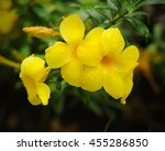 Yellow Allamanda Flowers