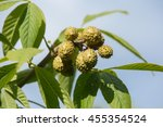 Small photo of fresh chestnuts, aesculus glabra