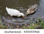 ducks catch fish in the pond in ... | Shutterstock . vector #455455960