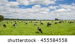 Panorama Of A Herd Of Dutch...