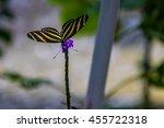 Zebra Longwings Butterfly On A...