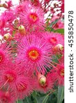 Small photo of Pink gum tree (Corymbia) flowers and buds, Sydney, Australia