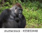 Silverback Gorilla Deep Though...