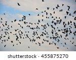 Murder Of Many Black Raven...