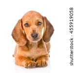 Stock photo dachshund puppy dog lying in front view isolated on white background 455919058