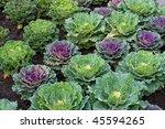 Decorative Cabbage In A Garden