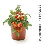 Fresh Cherry Tomato Plant In A...