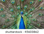 peacock with feathers out | Shutterstock . vector #45603862