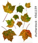 autumn leaves a few with holes  ... | Shutterstock . vector #4561159