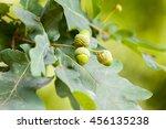Acorns On An German Oak
