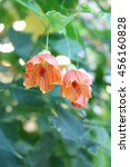 Small photo of Abutilon - evergreen annual and perennial herbs, subshrubs, shrubs, small trees Malwa