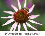 Pink Echinacea Coneflower...