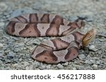 Small photo of A beautiful copperhead snake (Agkistrodon contortrix) found in the Shenandoah Valley in Virginia, USA.