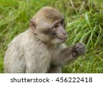 Barbary Macaque. Endangered...