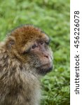 Small photo of Barbary Macaque. Endangered species of monkey that lives in the mountains of Morocco and Algiers in North Africa. Single, male, female, young and newborn.