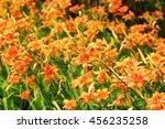 Chinese Daylily  Hemerocallis...