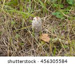 Small photo of Shaggy-mane mushroom growing in the grass. Latin name - Coprinus comatus. Grey color of cap - a sign of the beginning of the over ripeness