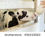 Newborn Black And White Calf In ...